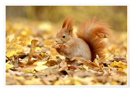 Premium poster  Red Squirrel in an urban park in autumn