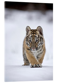 Acrylic print  Siberian Tiger cub, walking on snow - FLPA