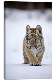 Canvas print  Siberian Tiger cub, walking on snow - FLPA