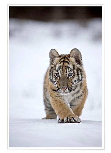 Siberian Tiger Cub Walking On Snow Posters And Prints