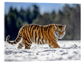 Acrylic glass  Siberian tiger in deep snow - imageBROKER