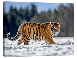 Canvas print  Siberian tiger in deep snow - imageBROKER