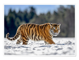 Premium poster  Siberian tiger in deep snow