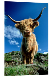 Acrylic print  Scottish highland cattle - Duncan Usher