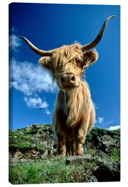 Canvas print  Scottish highland cattle - Duncan Usher