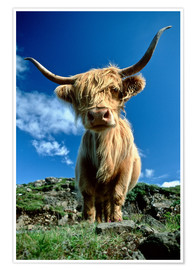 Premium poster  Scottish highland cattle - Duncan Usher