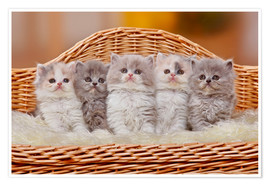 Premium poster Five British Longhair kittens