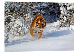 Acrylic print  Siberian Tiger walking in snow - FLPA
