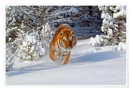 Premium poster  Siberian Tiger walking in snow - FLPA