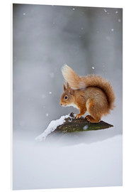 Foam board print  Eurasian Red Squirrel standing on branch in snow - FLPA