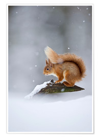 Premium poster Eurasian Red Squirrel standing on branch in snow