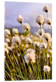 Acrylic print  Flowering Tussock Cottongrass