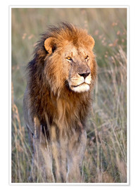 Premium poster Maasai lion in the prairie