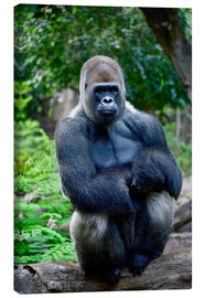 Canvas print  sitting silverback