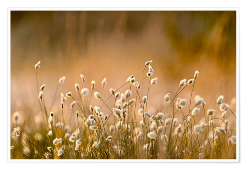 Premium poster Common Cotton-grass backlit at dawn