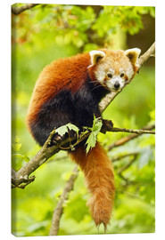 Canvas print  Red Panda sitting in tree