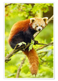 Premium poster Red Panda sitting in tree
