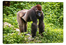 Canvas print  Western lowland gorilla, male in enclosure - imageBROKER