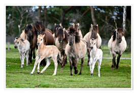 Premium poster Dülmen pony herd with foals
