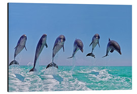 Aluminium print  6 dolphins jump out of the water - Gérard Lacz