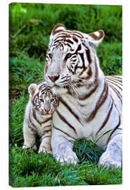 Canvas  White tiger mother with child - Gérard Lacz