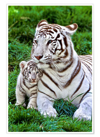 Premium poster  White tiger mother with child - Gérard Lacz