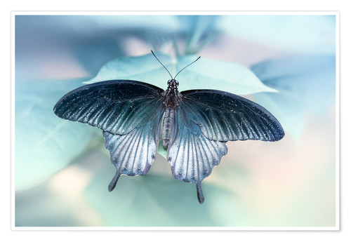 Premium poster  swallowtail butterfly