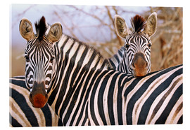 Acrylic print  Zebra friendship, South Africa - wiw