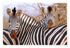 Poster Zebra friendship, South Africa