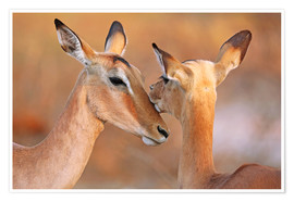 Premium poster  Impala friends, South Africa - wiw