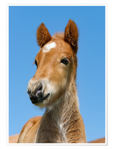 Premium poster Cute Pony foal portrait in front of blue sky