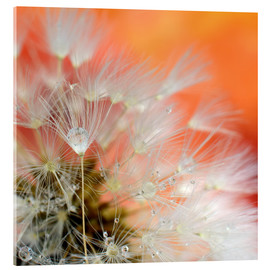 Acrylic print  Dandelion magic - Ludger Föster