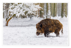 Premium poster  Boar in the snow - Moqui, Daniela Beyer