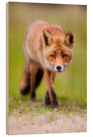 Wood print  red fox - Moqui, Daniela Beyer