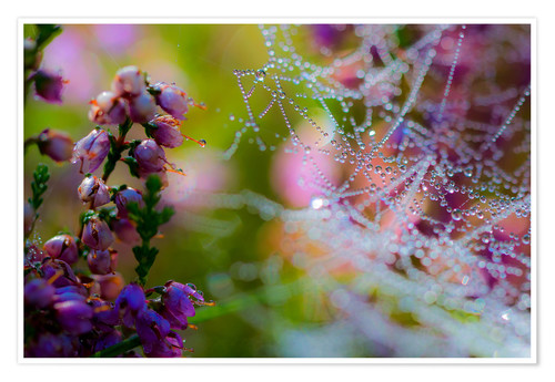Premium poster Morning dew on Erica and spider web