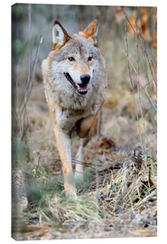 Canvas print  Hunting Wolf