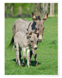 Premium poster  Donkey mum and her little baby