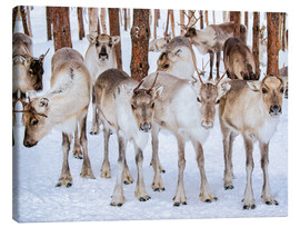Canvas print  Reindeer in winter in Lapland