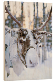 Wood print  Reindeer in Lapland