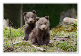 Premium poster Wild brown bear cub close-up