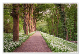 Premium poster Forest path through wild garlic meadow