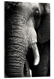 Acrylic print  Elephant in the portrait - Johan Swanepoel