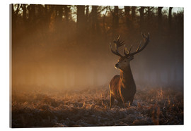 Acrylic glass  Stag in autumn sunrise - Alex Saberi