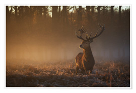 Premium poster  Stag in Autumn Sunrise - Alex Saberi