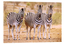 Acrylic print  Three Zebras, one is so tired - wiw