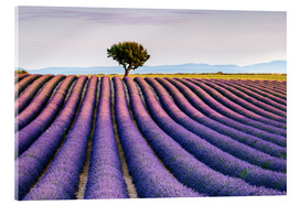 Acrylic glass  Lavender field and tree at sunset, Provence - Matteo Colombo