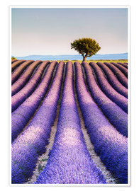 Premium poster  Tree in a lavender field, Provence - Matteo Colombo