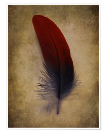 Premium poster Blue and red feather
