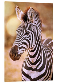 Acrylic print  Young Zebra, South Africa - wiw