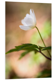 Foam board print  Wood anemone - blooming with soft background - Mark Scheper